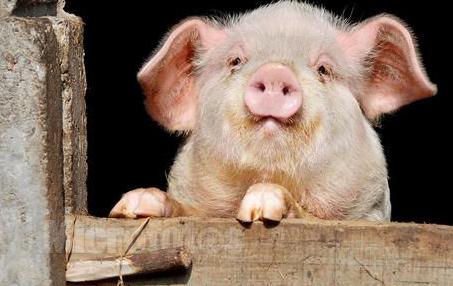 """10月26日全国各省市15公斤仔猪价格行情,""""成片下跌"""",仔猪上涨""""无指望""""!"""