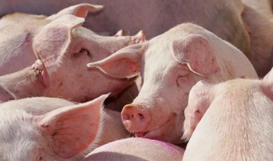 突发!又有2国暂停对华出口猪肉!俄罗斯抛橄榄枝,向中国大批量出口猪肉!