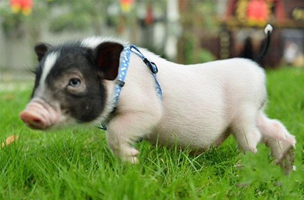 引进企业 抢抓机遇 回家养猪比打工挣得还多