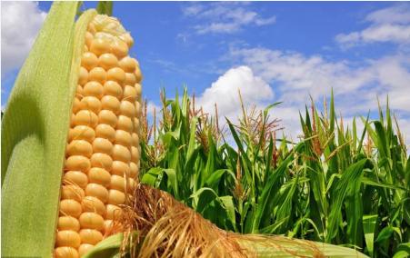 10月27日山东省各市区玉米价格行情,涨涨涨!玉米还有上涨空间?