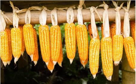 10月27日全国各省市玉米价格行情,全国范围内玉米价格依旧在稳中上行!