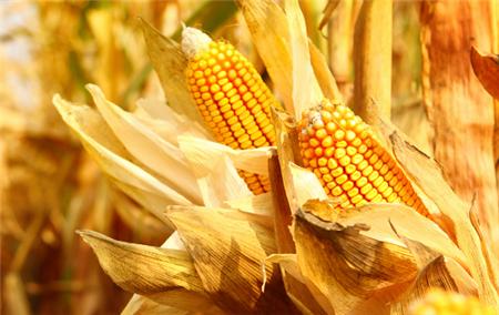 10月27日饲料原料:玉米行情火爆引央视关注,豆粕或再度冲高!