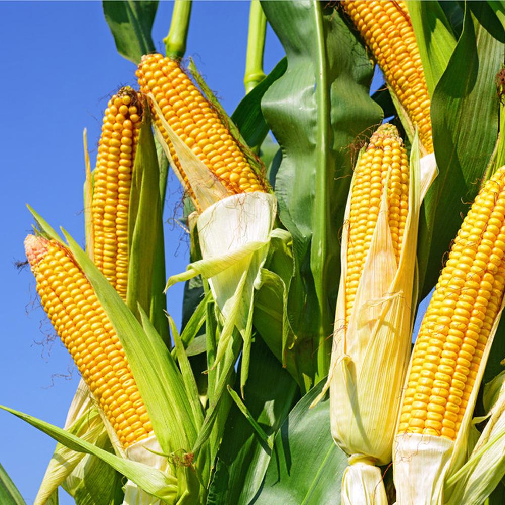 10月27日安徽省各市区玉米价格行情,整体平稳,淮南市涨势较猛!