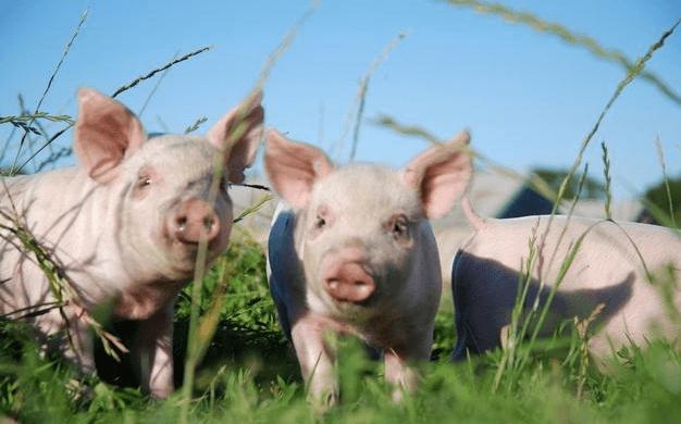 甘肃:高台10万头生猪养殖项目有序推进