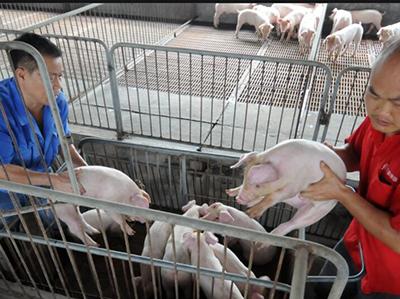 后市猪价行情