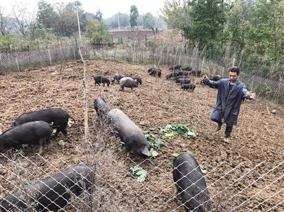 汉中小伙放弃每月近2万的高薪回乡养猪 关中黑猪远销北上广