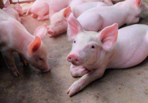 """生猪市场调查:""""无钱养""""""""无地养""""""""不敢养""""难题持续破解,养猪致富效应明显"""
