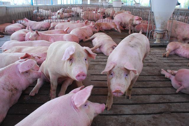 四招养猪技巧教给你 养育肥猪的朋友注意啦!