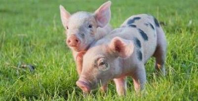 """10月29日生猪价格,又""""凉""""了,猪周期到顶?专家:还能涨"""