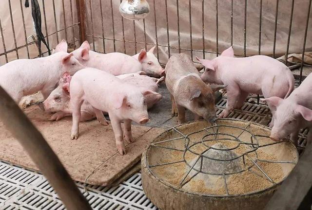 """10月30日生猪价格,猪价真的""""稳""""在15以内了?年前还能涨回来吗?"""