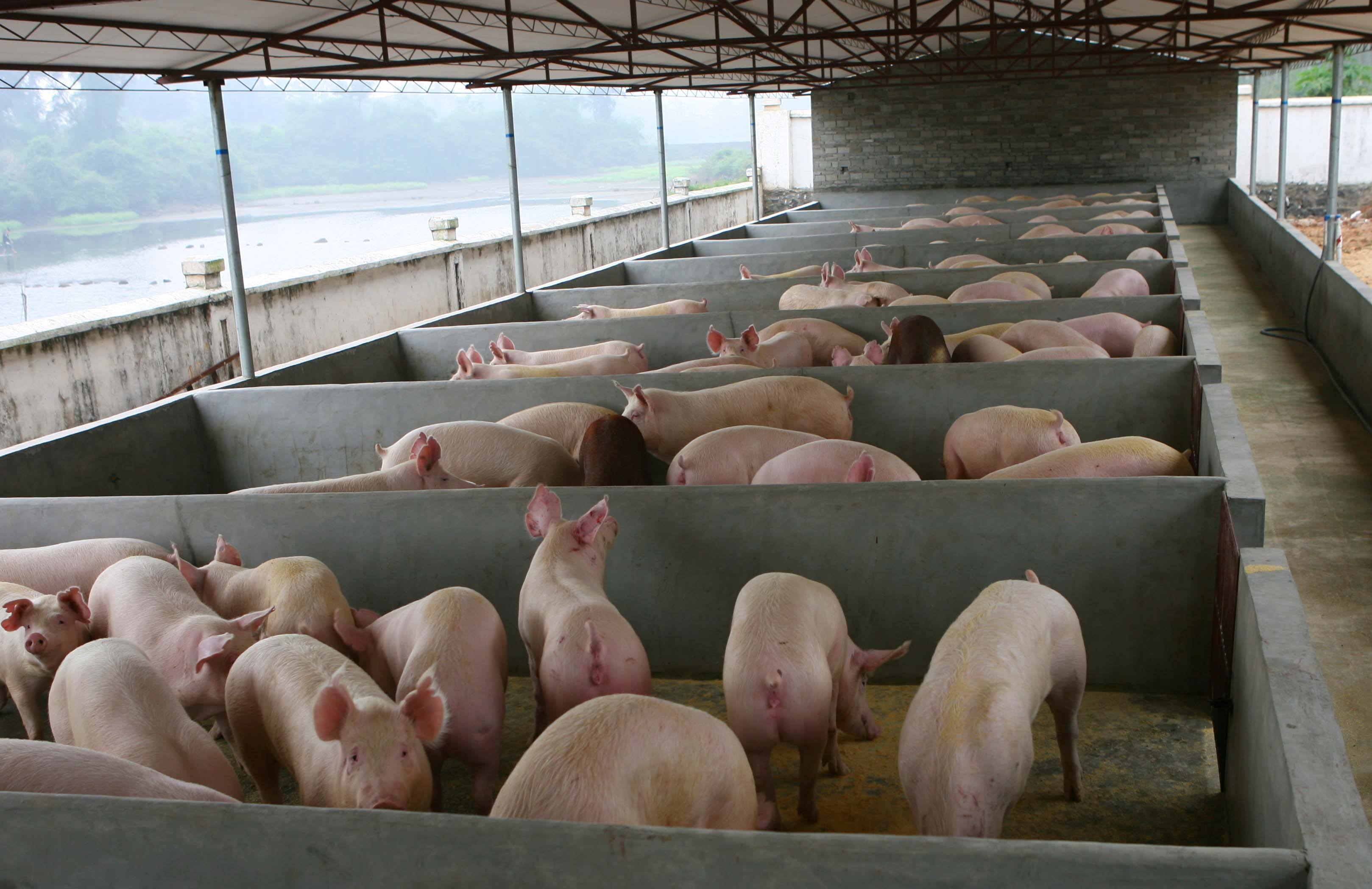 正邦科技:现有能繁母猪110.8万,年底或超140万