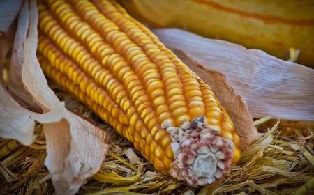 生意社:10月玉米价格持续上行