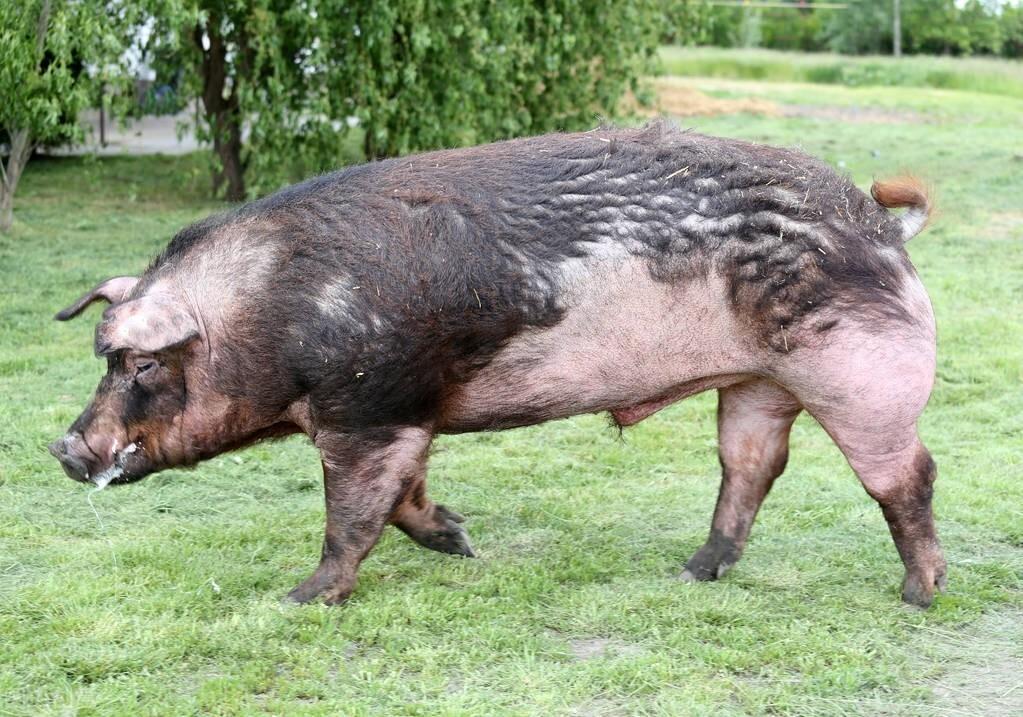 非瘟、贸易依旧在影响生猪产业,但猪真的多了
