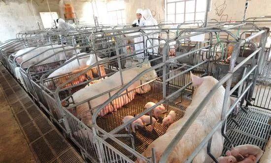 想要母猪每窝超产、多产仔,你就该了解这些知识!