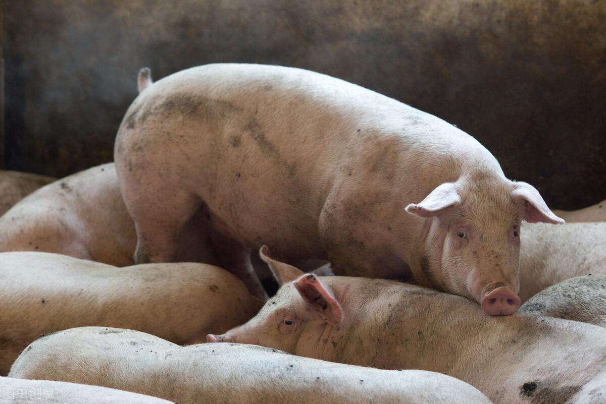 猪价停跌趋稳,但养猪户担心的事还是发生了,该如何应对呢?