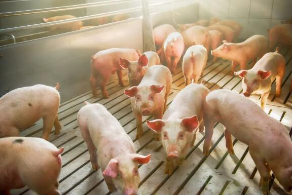 山西太原:前三季度生猪生产持续向好,产能呈逐渐恢复态势