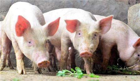 辽宁生猪生产能力5年内有望持续扩大 年出栏量将超5000万头