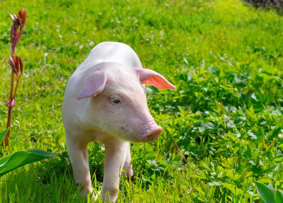 11月3日15公斤仔猪价格,养殖成本饲料非主因,仔猪本身才是?