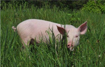 云南:临翔区多举措促生猪产业持续发展