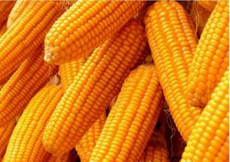 CFT产区卖压后移 玉米价格呈上升趋势