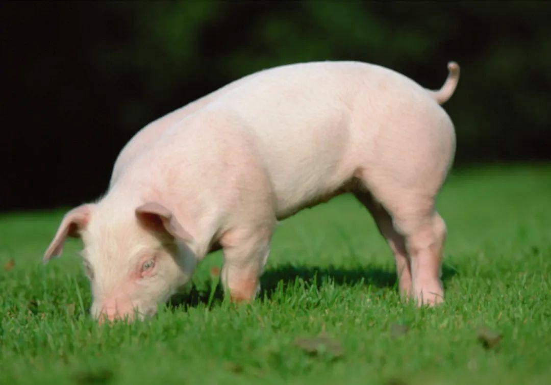 江西庐山:强化非洲猪瘟防控,多举措恢复生猪生产工作