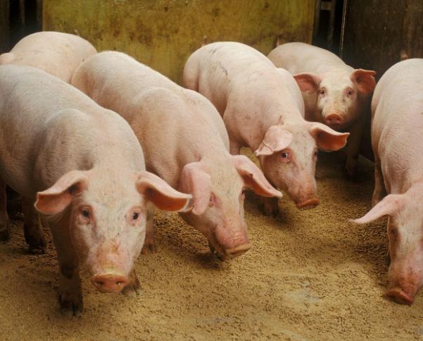 2020年11月3日全国各省市土杂猪生猪价格,全国性小幅反弹,猪价后市有戏?