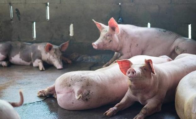 广西岑溪:生猪养殖鼓起群众钱袋子