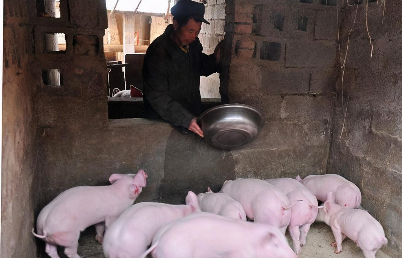 2020年11月5日全国各省市20公斤仔猪价格行情报价,区域价格差较大,整体震荡调整中