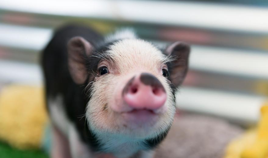 11月4日20公斤仔猪价格,自留育肥增多,以仔猪成活率为重