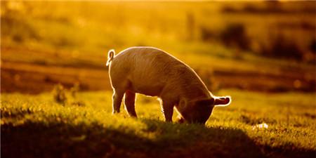 """养头猪的利润跌了900多元 分析师:猪企""""生命线""""在这里"""