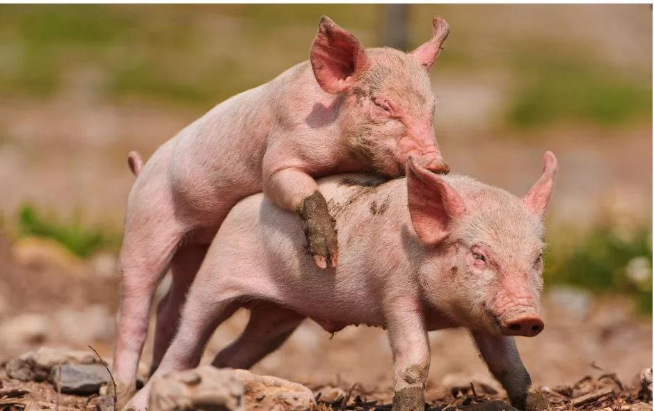 5年没死一头猪,看养猪高手如何养初生仔猪的
