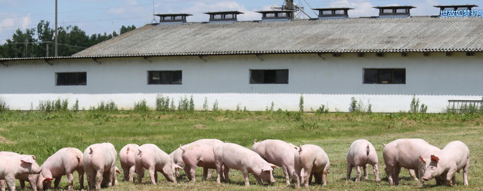 我国饲养的瘦肉型猪种有哪些?典型特征和生产性能如何?