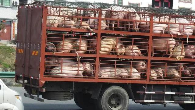 猪价下跌,养猪户心里发慌?别怕!业内人士:明年养猪还能发财