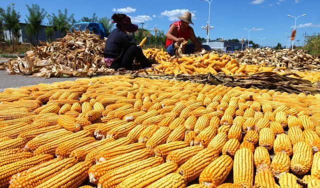 风向标!中储粮粮库开收玉米了,2400元/吨,是否能稳住价格?