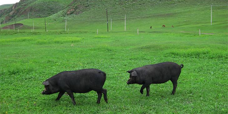 2020年11月11日全国各省市种猪价格报价表,母猪价格持续下行,市场猪真的多了吗?