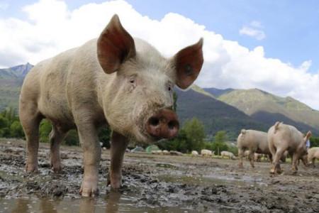 双汇拟建设生猪养殖项目并设立子公司