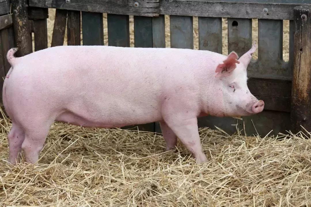 云南昆明:引进2000头欧洲种猪 助力生猪产能恢复