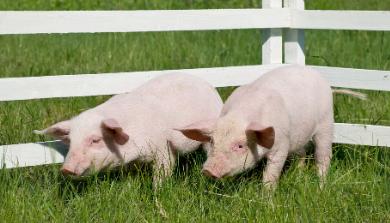 """11月12日20公斤仔猪价格,""""三高""""撞上猪价低,补栏不可取"""