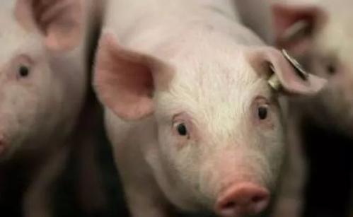 2020年11月12日全国各省市外三元生猪价格,再度下跌!后市猪价再无反弹机会了吗?