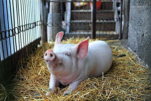 11月13日10公斤仔猪价格下跌,养猪不宜跟风,秋冬疫病防控要重视