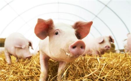 育肥猪对不同植物源富集材料的偏好