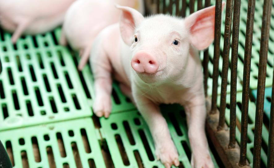 2020年11月13日全国各省市10公斤仔猪价格行情报价,稳中下行,800元/头的仔猪价格成常态!