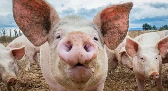 2020年11月14日全国各省市外三元生猪价格,饲料再涨,猪价再跌,后市何去何从?