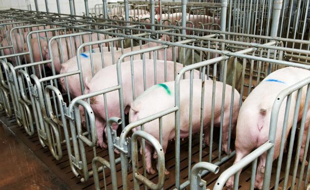 天兆猪业:港股上市前急刹车,或与猪价下行相关?