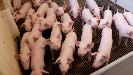 2020年11月15日全国各省市15公斤仔猪价格行情报价,近期仔猪价格保持稳中下跌的趋势!