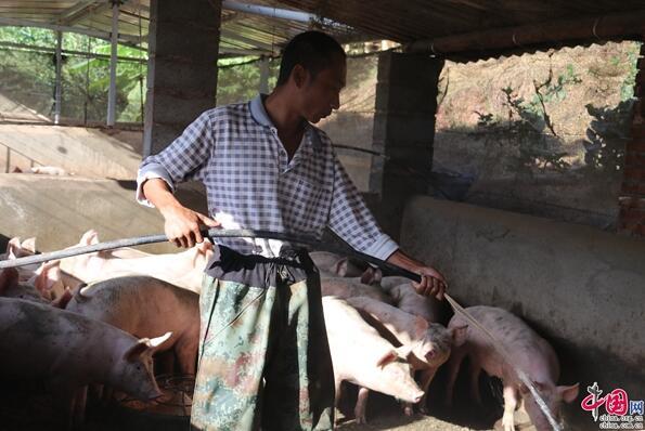 普洱镇沅:推进生猪养殖产业 村民脱贫致富有奔头