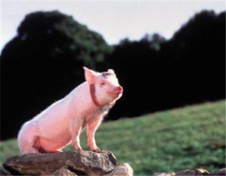 """""""多用益母草,母猪养得好"""",益母草对猪有啥好处,你知道咋用吗"""
