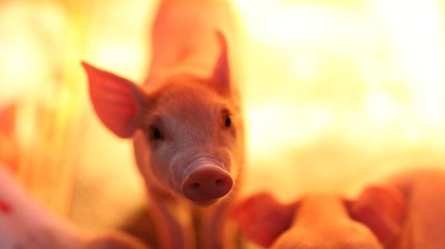 冬季养猪场高效管理要点,保暖,消毒,通风