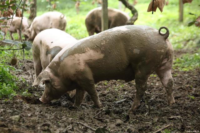 喜讯!2020年生猪养殖再也不用担心生产用地问题