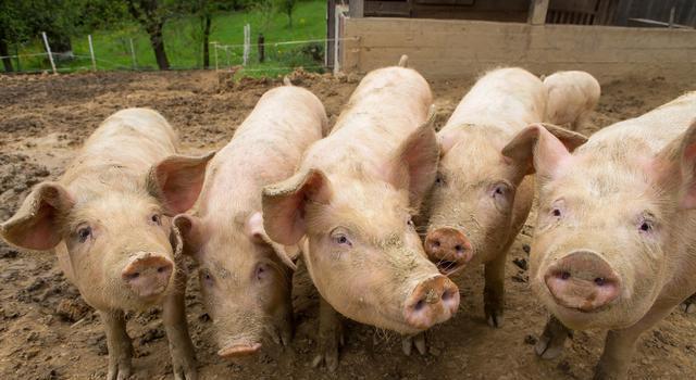 猪呼吸道疾病综合征分为两种病因,可以采取以下防治方式